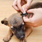 Clean Dog Ears