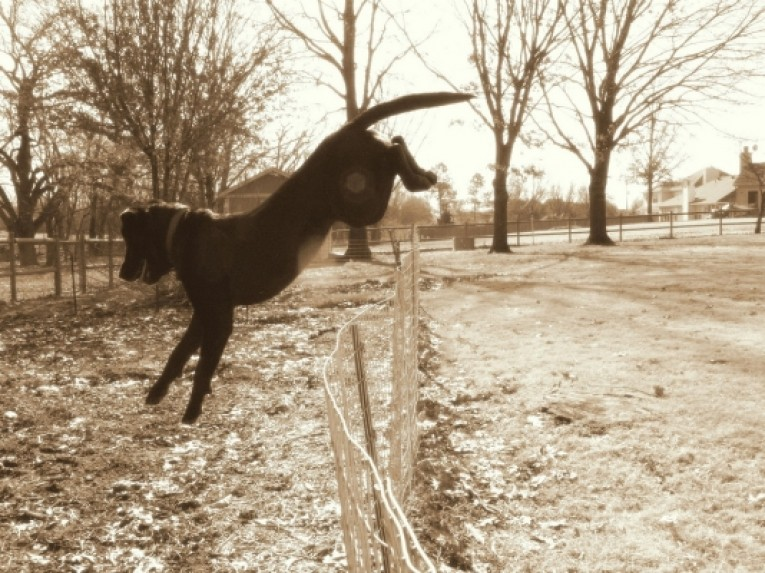 Electric Fences Safe for Dogs