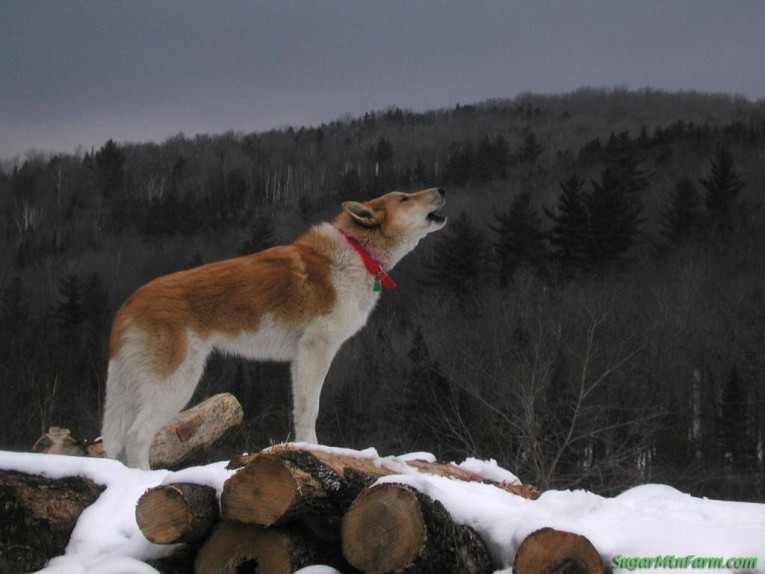 How To Make Your Dog Howl On Command
