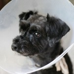 How to Care for a Dog After Its Been Spayed