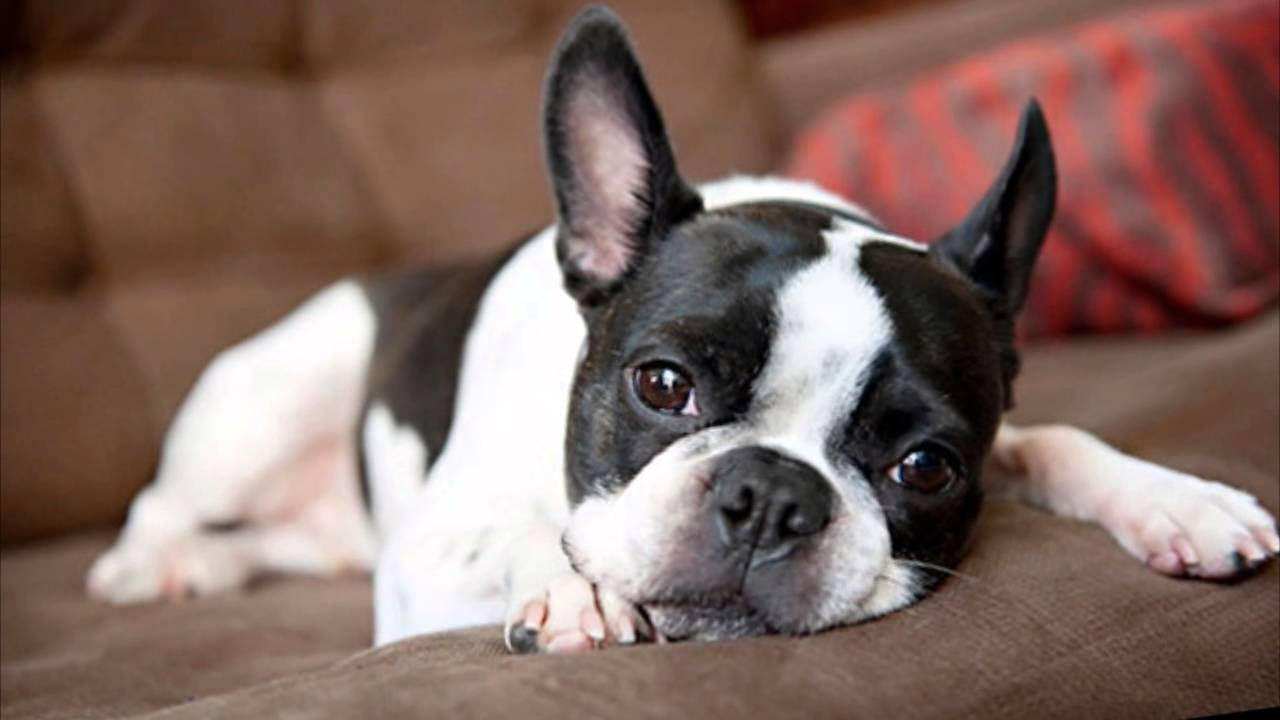 Best Dogs for the Apartment Living