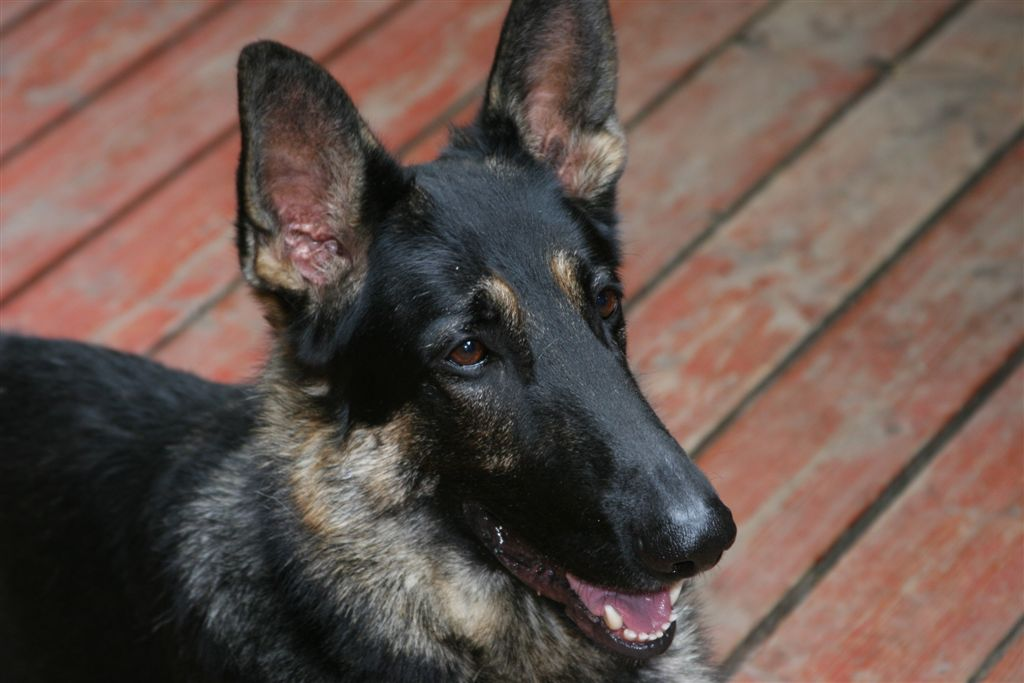 German Shepherd Dog – A Breed Primer