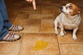 House Training Older Dog