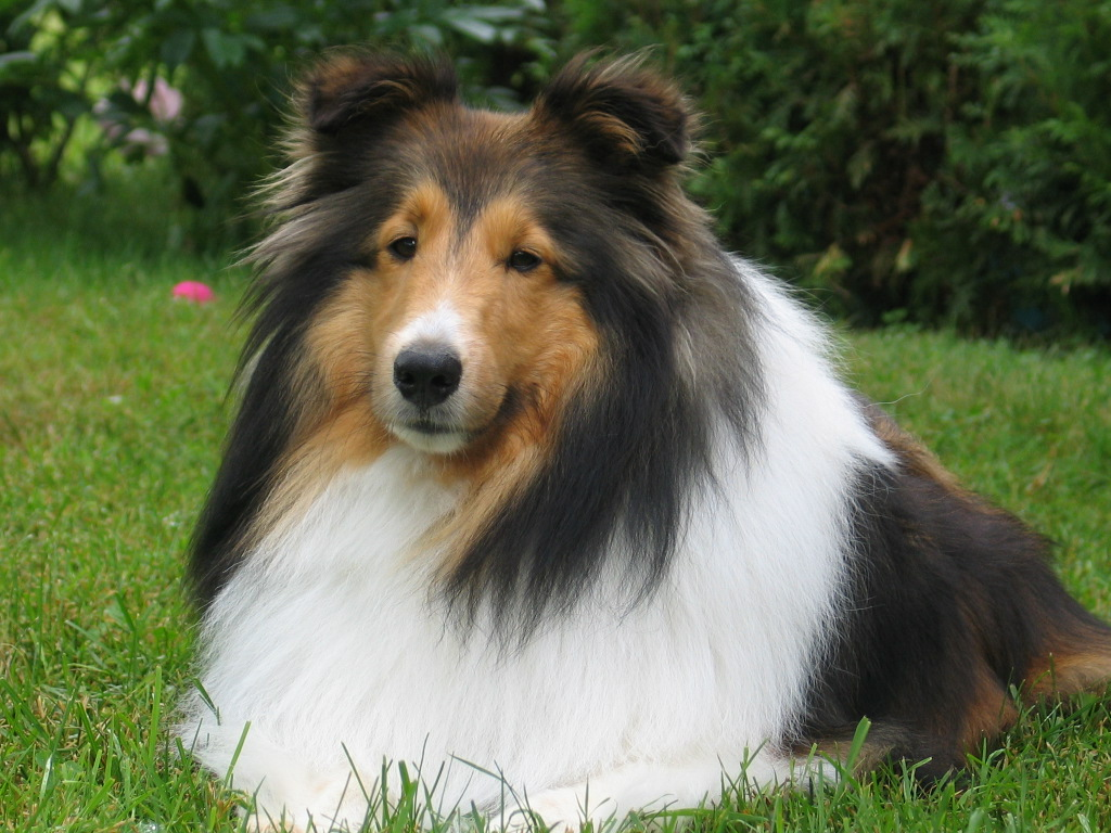 Shetland sheepdogs is this the breed for you best dog for Best dog breed for you