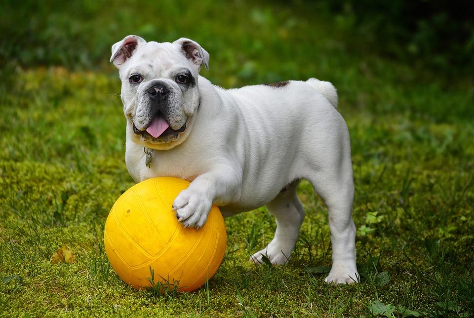 Raising a Healthy Bulldog, Not Your Ordinary Pet