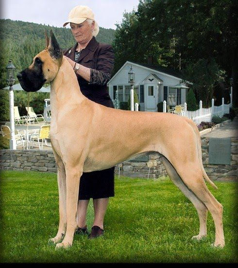 dog breeds great danes