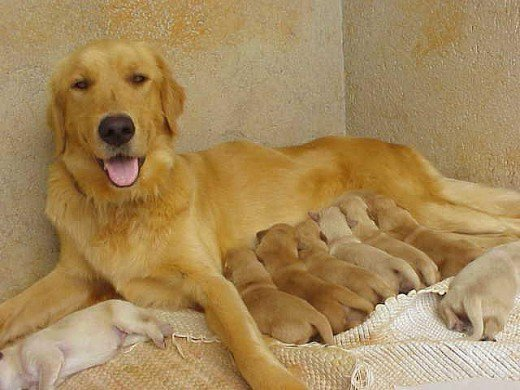 Tips for Breeding Your Female Dog