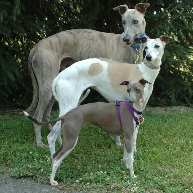 The Greyhound: An Often Misunderstood Dog and Excellent Pet