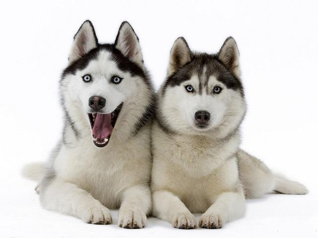 Dog Breeds: The Siberian Husky
