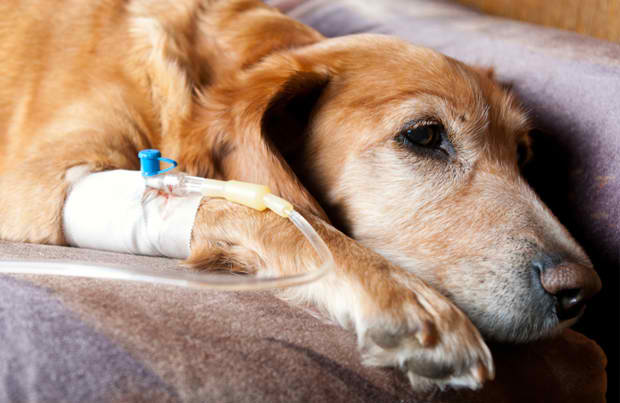 Poisonous Snake Bite Vaccine for Dogs