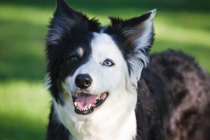 So You Want a Border Collie Dog?