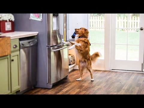 How to Train Your Dog to Get You a Drink from the Fridge!