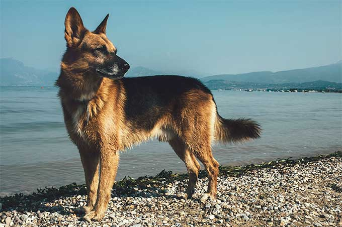 German Shepherd Dogs: What You Need to Know