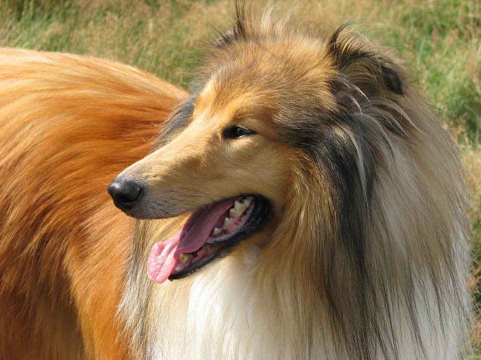 lasie dog