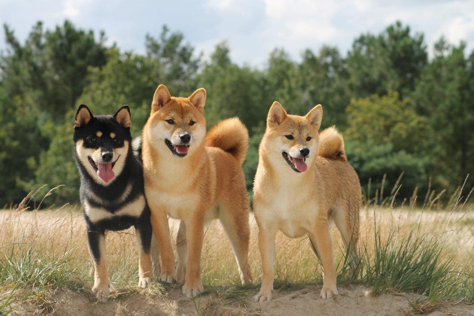 Akitas: Royal Dogs of Japan