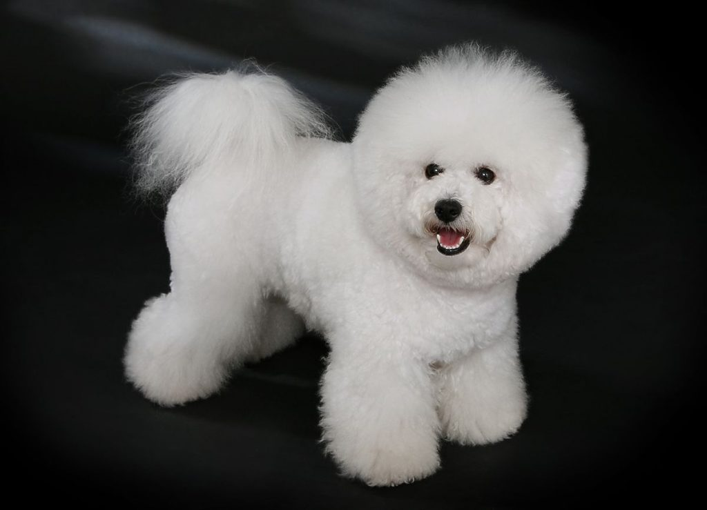 dog breeds Bichon_Frisé