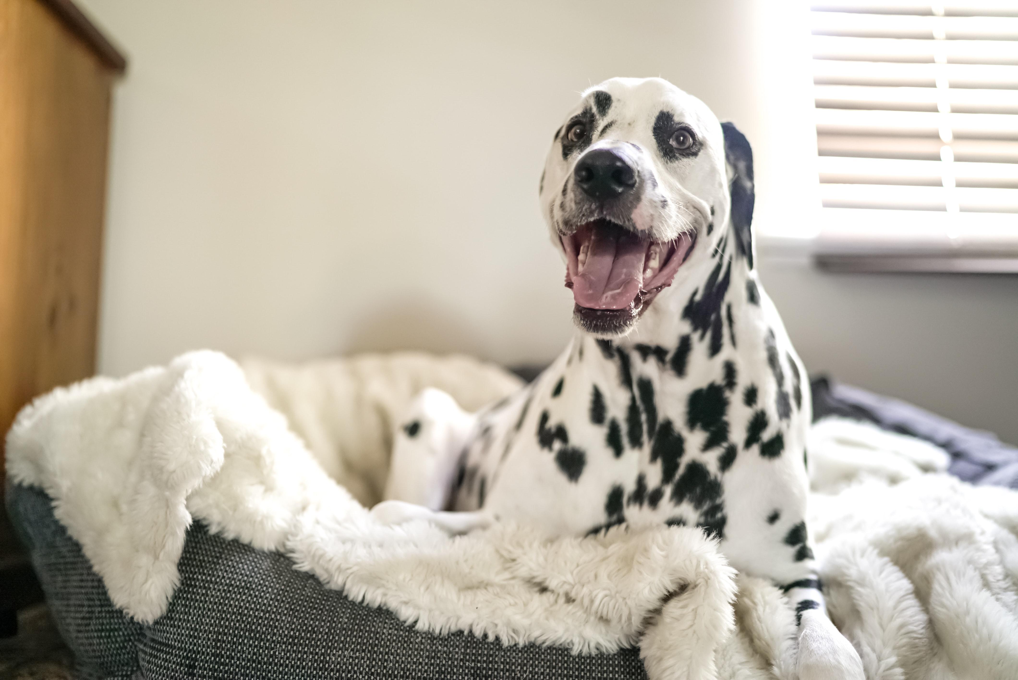 dalmatian lying in bed smiling