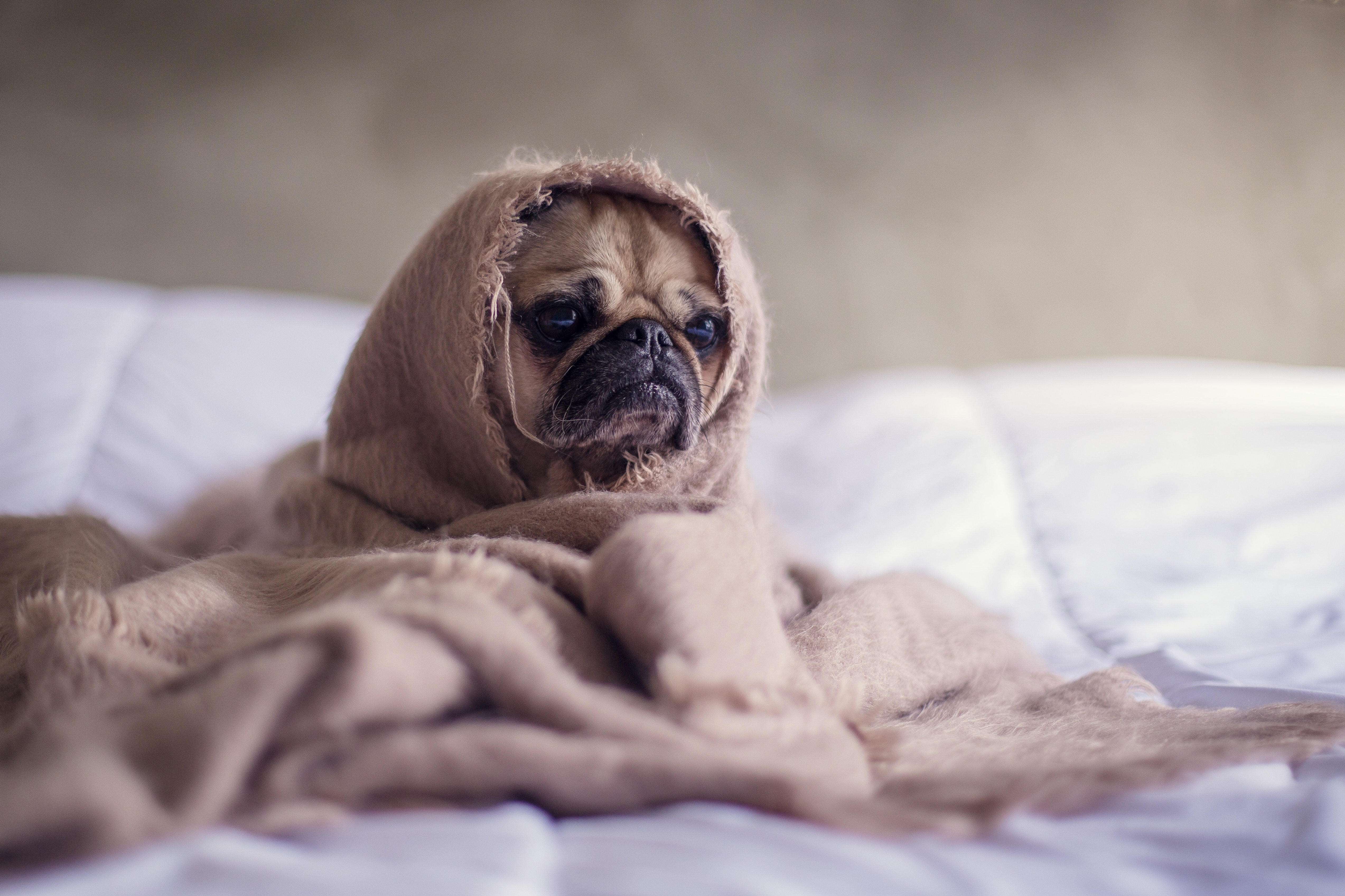 pug covered with brown cloth