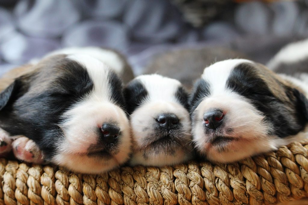 sleeping puppies in bolster dog bed