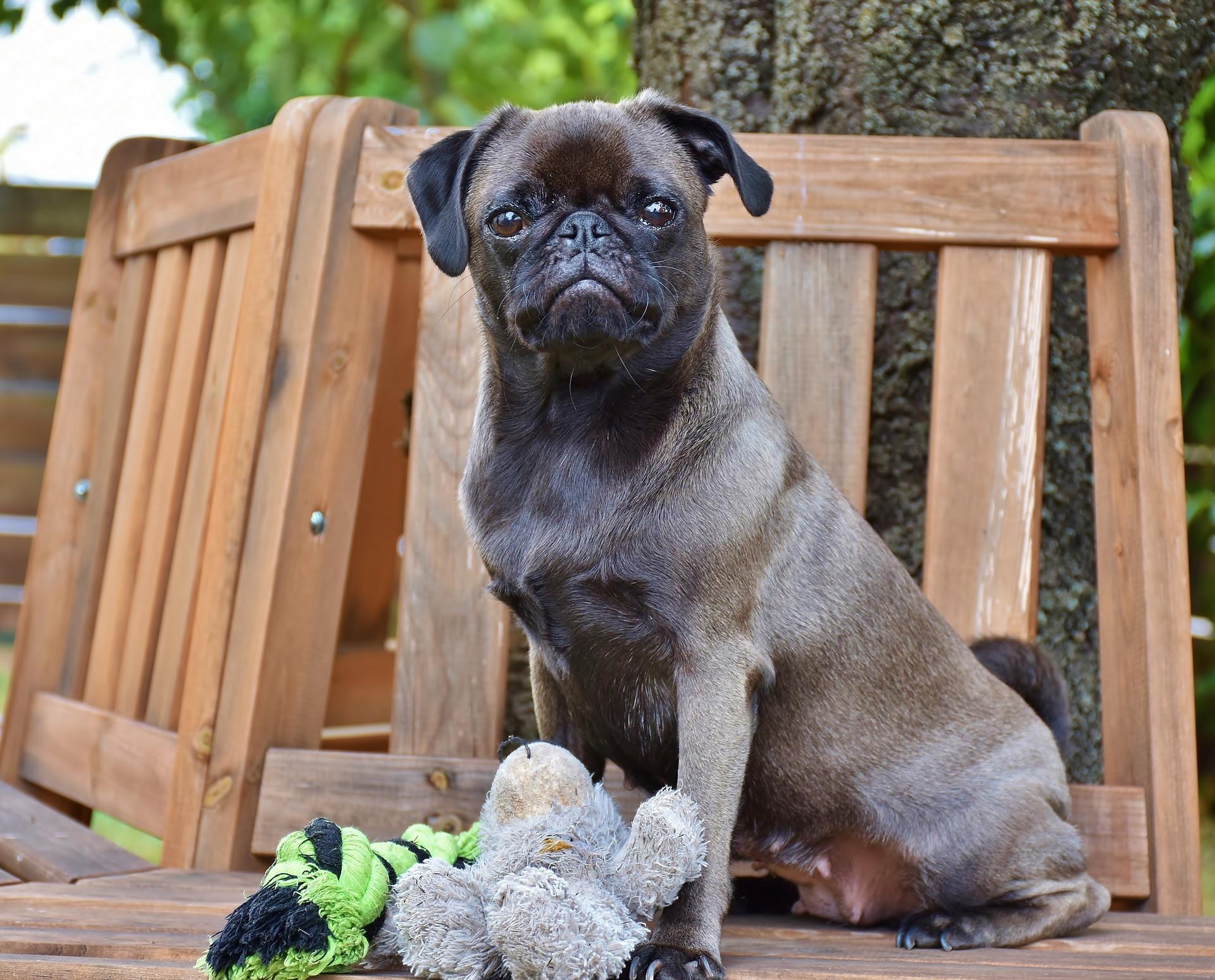 pure breed pug dog
