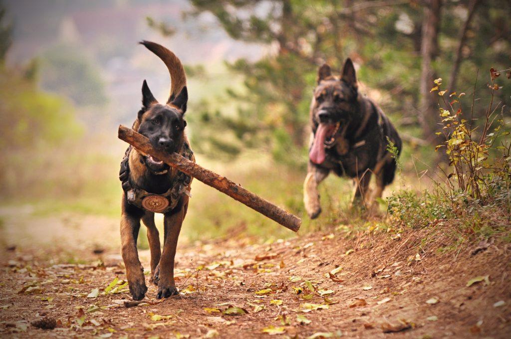 Two German Shepherds Running