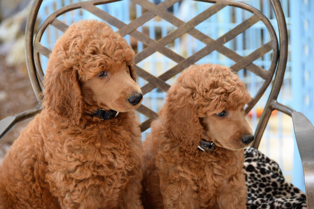 Two poodle puppies sitthing on a bench