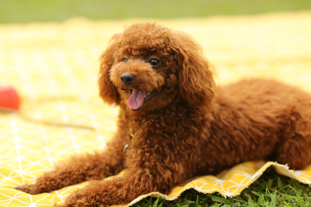A brown poodle puppy