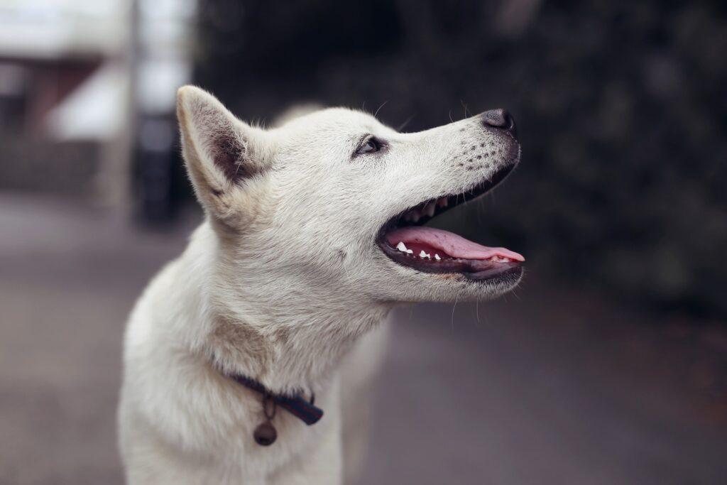 An all white dog