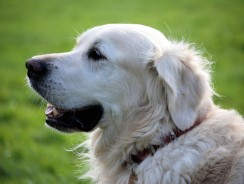 Identifying and Managing Dog Separation Anxiety