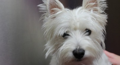 Dog Breed Overview: West Highland White Terriers