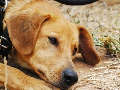 Warning Signs of Heartworm in Dogs