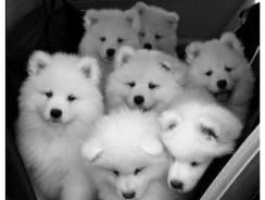 Hey, is that Dog a Samoyed?