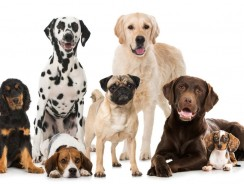 Family Dog Breeds: Selecting a Mellow Breed for Your Family