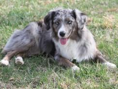 The Aidi Dog Breed