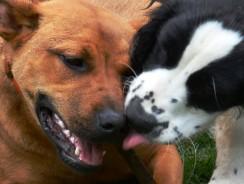 Dog Tricks: Dog Kiss