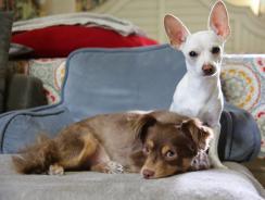 Choosing a Small Dog