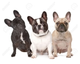 French Bulldogs – What to Expect