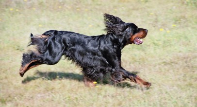 Gordon Setters: The Right Dog for You?