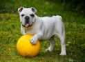 Raising a Healthy Bulldog, Not Your Ordinary Pet