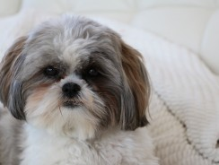 You Must Own This Breed of Dog Once in Your Life, and That's No Shihtzu!!!