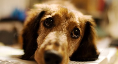 What Are the Symptoms of a Dogs Ear Yeast Infection?