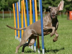 Dog Agility Training