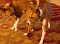 Basenjis: The Perfect Dog?