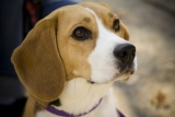 Beagle Health Problems – What You Need To Look Out For