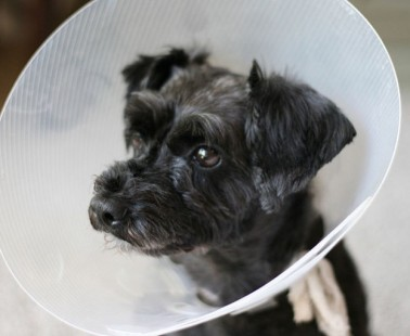 How to Care for a Dog After It's Been Spayed