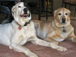 Introducing a New Dog to Your Old Dog