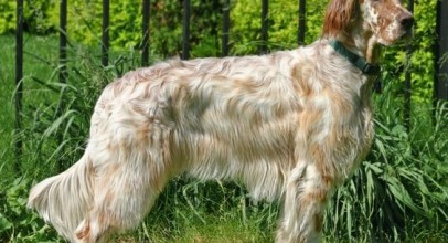 Dog Breed Guide: Profile of the English Setter