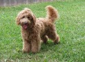 Designer Dogs: Labradoodles Becoming Better-known