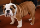 Dog Breeds That Can Be Left Alone