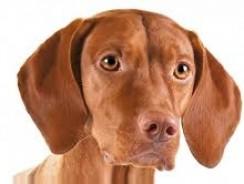 Vizsla Dog Breed Makes a Great, Family Friendly Pet